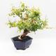 Room Bonsai - Australian Cherry - Eugenia uniflora - 3/5