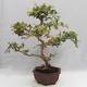 Indoor Bonsai - Australian Cherry - Eugenia uniflora - 3/5