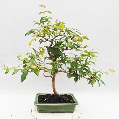 Indoor Bonsai - Australian Cherry - Eugenia uniflora - 3