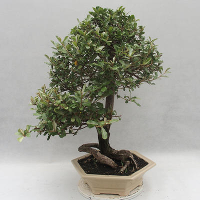 Kryty bonsai -Eleagnus - Hlošina - 3