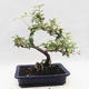 Kryty bonsai -Eleagnus - Hlošina - 3/5