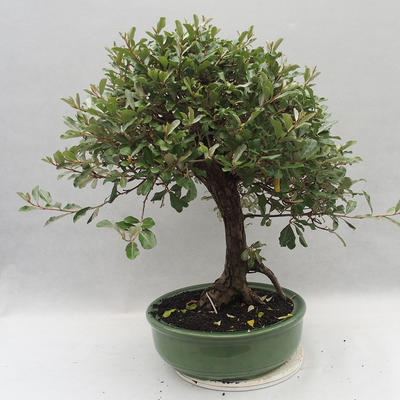 Kryty bonsai -Eleagnus - Hlošina - 3