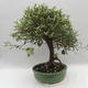 Kryty bonsai -Eleagnus - Hlošina - 3/6