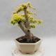 Indoor bonsai -Ligustrum Aurea - dziób ptaka - 3/6