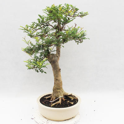 Indoor Bonsai - Fraxinus uhdeii - Indoor Ash - 3