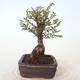 Bonsai zewnętrzne - Ulmus parvifolia SAIGEN - Wiąz drobnolistny - 3/7