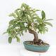 Outdoor bonsai -Malus Halliana - owocach jabłoni - 3/6