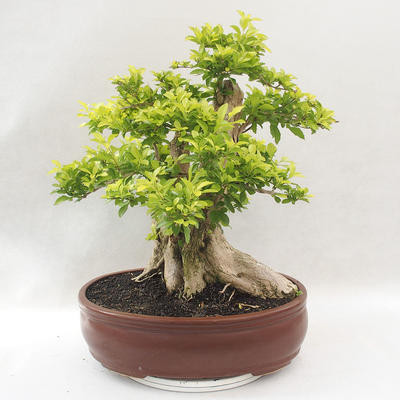 Bonsai do wnętrz - Duranta erecta Aurea - 3