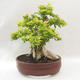 Bonsai do wnętrz - Duranta erecta Aurea - 3/6