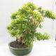 Bonsai do wnętrz - Duranta erecta Aurea - 3/5