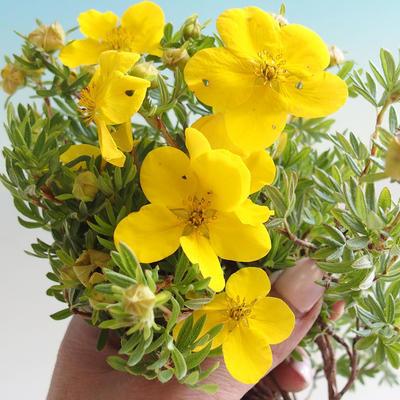 Outdoor Bonsai-Pięciornik - Dasiphora fruticosa żółty - 3