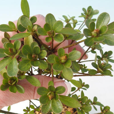 Bonsai zewnętrzne - Rhododendron sp. z o.o. - Różowa azalia - 3