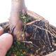 Bonsai zewnętrzne - palma Acer. Atropurpureum-Czerwony liść palmowy - 3/6