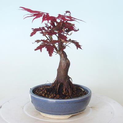 Bonsai zewnętrzne - palma Acer. Atropurpureum-Czerwony liść palmowy - 3