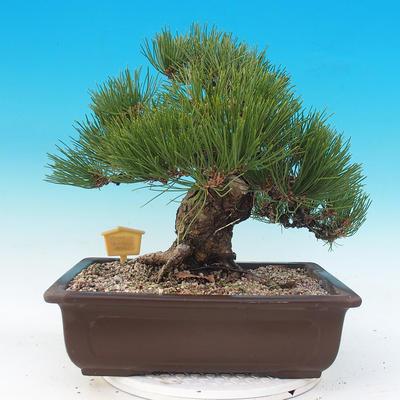 Outdoor bonsai - Pinus thunbergii - Sosna Thunbergova - 3