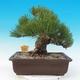 Outdoor bonsai - Pinus thunbergii - Sosna Thunbergova - 3/5