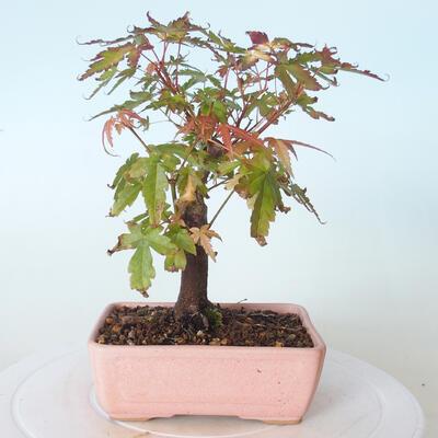 Bonsai na zewnątrz - Maple palmatum sangokaku - Liść palmy klonowej - 3