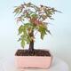 Bonsai na zewnątrz - Maple palmatum sangokaku - Liść palmy klonowej - 3/5