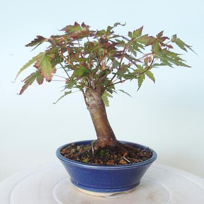 Outdoor bonsai - Maple palmatum sangokaku - Liść palmy klonowej - 3
