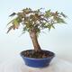 Outdoor bonsai - Maple palmatum sangokaku - Liść palmy klonowej - 3/5