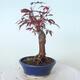 Bonsai zewnętrzne - palma Acer. Atropurpureum-Czerwony liść palmowy - 3/5