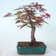 Bonsai outdoor - Maple palmatum DESHOJO - Maple palmate - 3/6