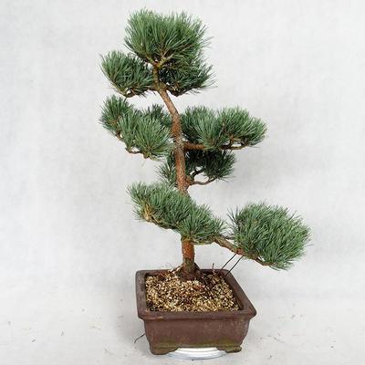 Outdoor bonsai - Pinus sylvestris Watereri - sosna zwyczajna VB2019-26852 - 3