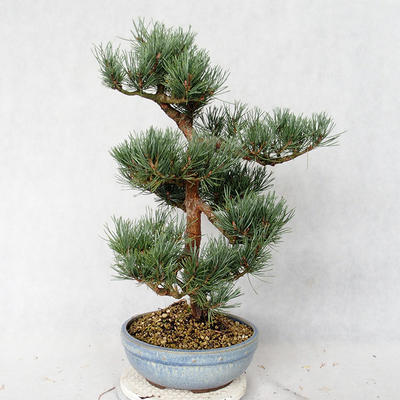 Outdoor bonsai - Pinus sylvestris Watereri - sosna zwyczajna VB2019-26859 - 3