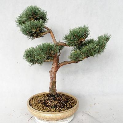 Outdoor bonsai - Pinus sylvestris Watereri - sosna zwyczajna VB2019-26868 - 3