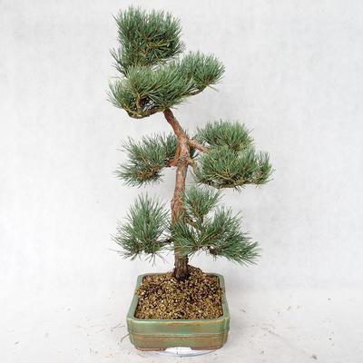 Outdoor bonsai - Pinus sylvestris Watereri - sosna zwyczajna VB2019-26877 - 3