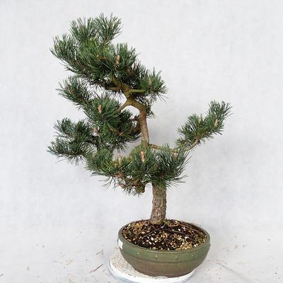Outdoor bonsai - Pinus Mugo - Pine kneel VB2019-26886 - 3