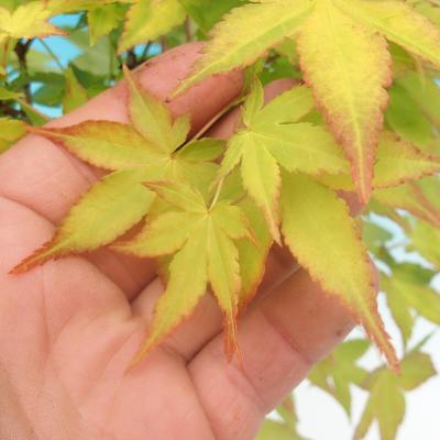 Acer palmatum Aureum - Golden Palm Maple VB2020-637 - 3