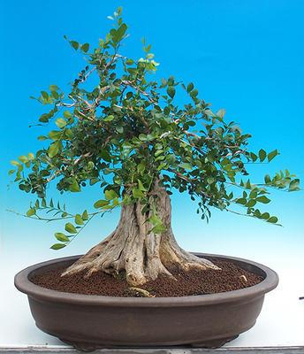Pokój bonsai - Muraya paniculata - 3