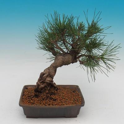 Pinus thunbergii - Sosna thunbergova - 3
