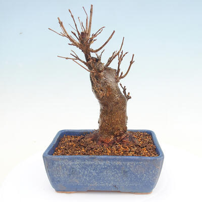 Outdoor bonsai - Buergerianum Maple - Burger Maple - 3