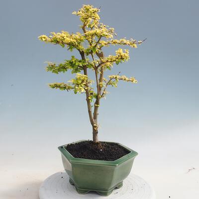 Kryty bonsai -Ligustrum Aurea - dziób ptaka - 3