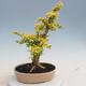 Kryty bonsai -Ligustrum Aurea - dziób ptaka - 3/6