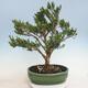 Kryty bonsai - Buxus harlandii - Bukszpan korkowy - 3/6