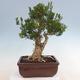Kryty bonsai - Buxus harlandii - Bukszpan korkowy - 3/7