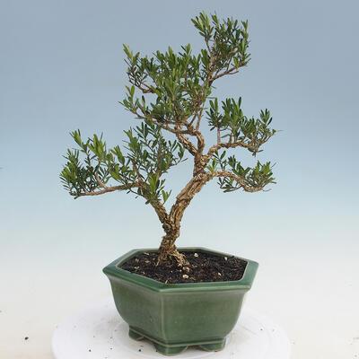 Kryty bonsai - Buxus harlandii - Bukszpan korkowy - 3