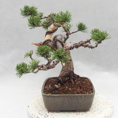 Outdoor bonsai - Pinus Mugo - Klęcząca Sosna - 3