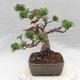 Outdoor bonsai - Pinus Mugo - Klęcząca Sosna - 3/5