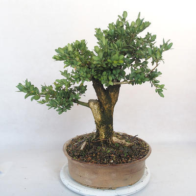 Outdoor bonsai - bukszpan - 3