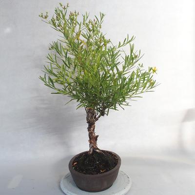 Outdoor bonsai- ziele dziurawca - Hypericum - 3