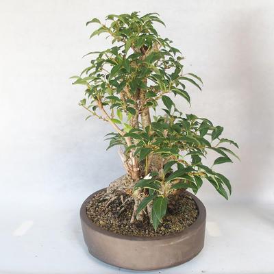 Outdoor bonsai - Forsycja - Forsycja - 3
