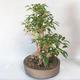 Outdoor bonsai - Forsycja - Forsycja - 3/5