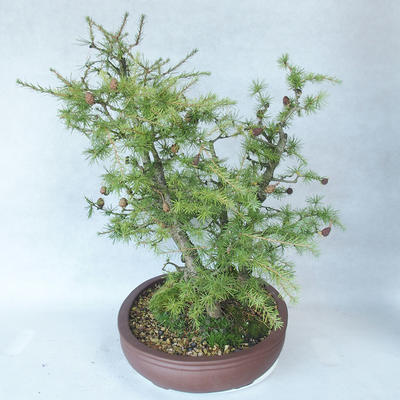 Outdoor bonsai -Larix decidua - modrzew - 3