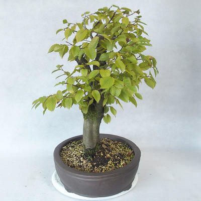 Outdoor bonsai - grab - Carpinus betulus - 3