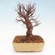 Outdoor bonsai - Zelkova - Zelkova NIRE - 3/5