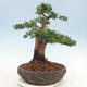 Outdoor bonsai - Juniperus chinensis - chiński jałowiec - 3/5